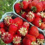 Латвия: нет желающих собирать клубнику за 1 500 евро